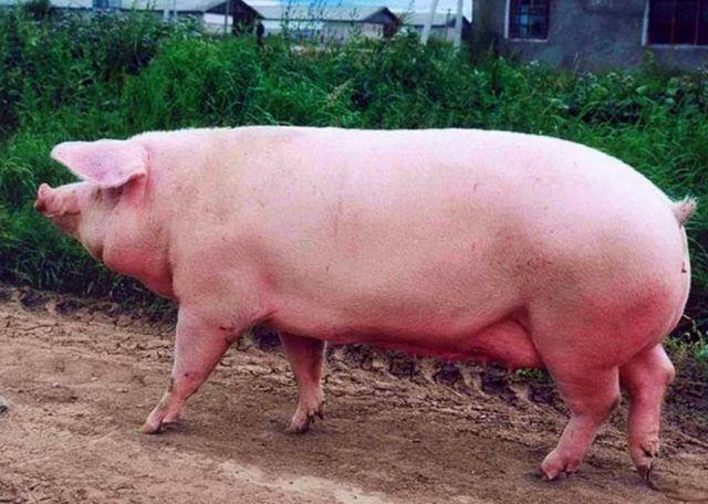 Свиньи живым весом