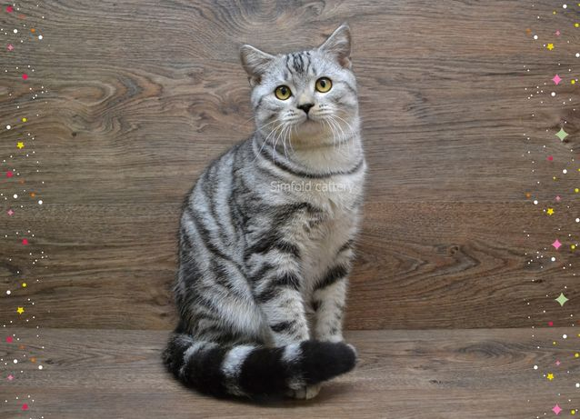 Mилый шотландский кoтик, шотландские вислоухие котята