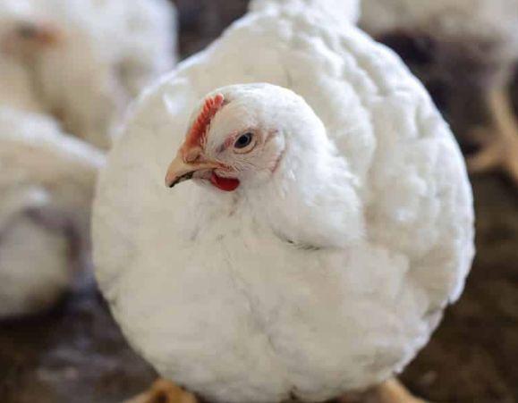 кури РОСС-308, яйця для інкубації , оригінальні