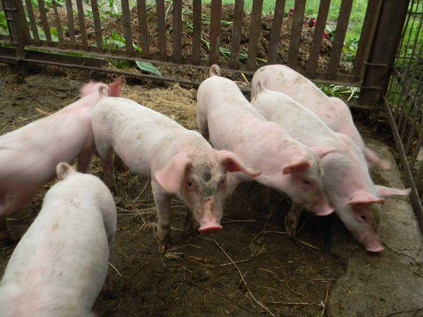 продам малі свині велика біла -ландраси 7 неділь