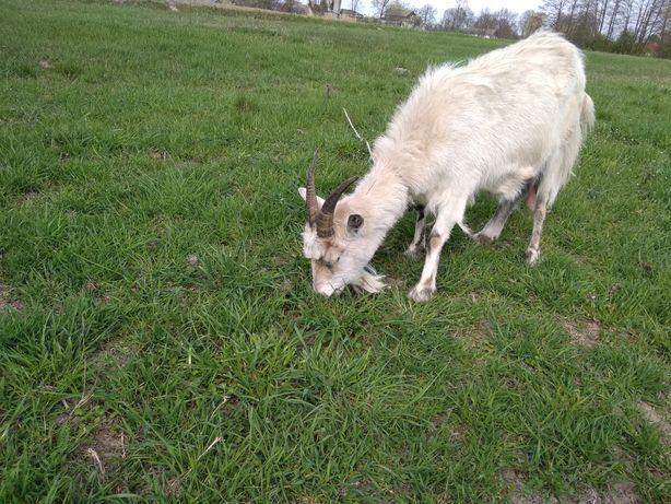 Продам дійну козу