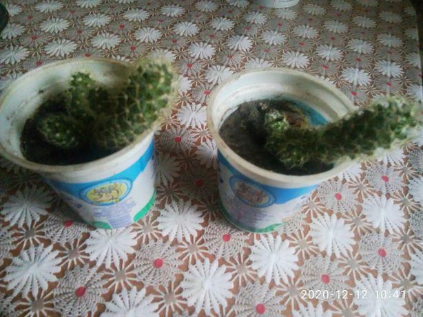 продам кактусы разные