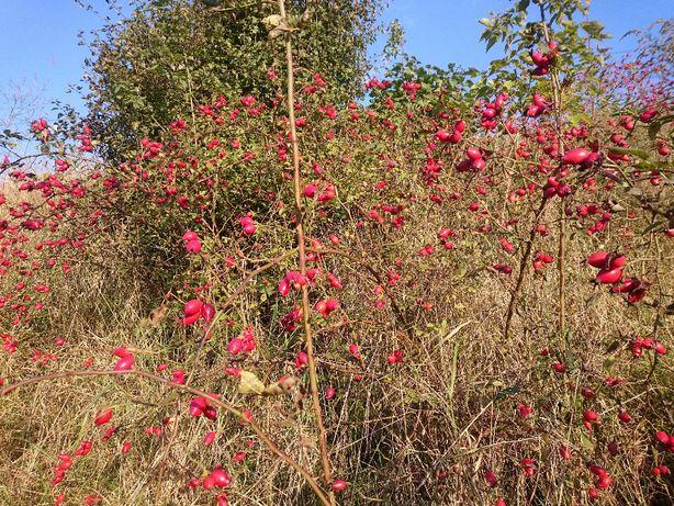 Dzika róża, canina, owoce dzikiej róży, głóg, czeremcha, kalina