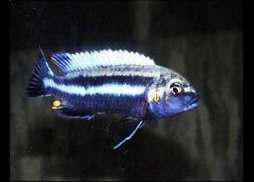 Pyszczak -  melanochromis vermivorus 4-5 cm wysyłam