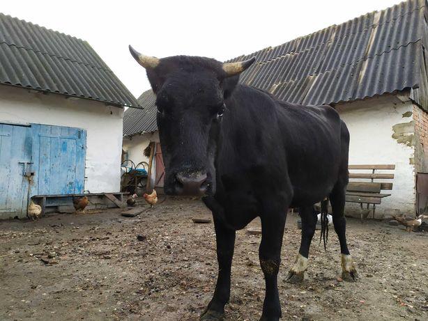 Продам корову молоду