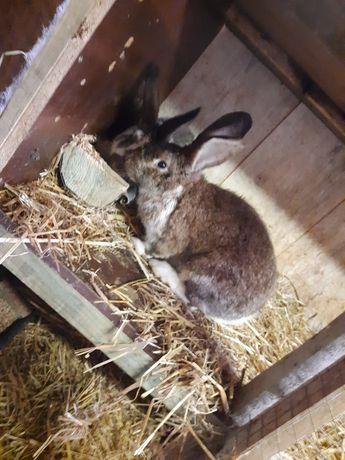 Młode króliki mieszańce!!!