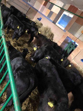Byczki mieszance i mięsne