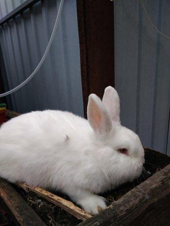 Кролики для истинных любителей, хорошие самцы