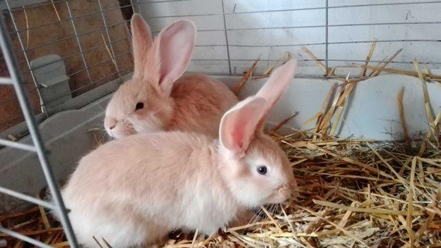 BOŻ Belgijski Olbrzym Żółty młode króliki