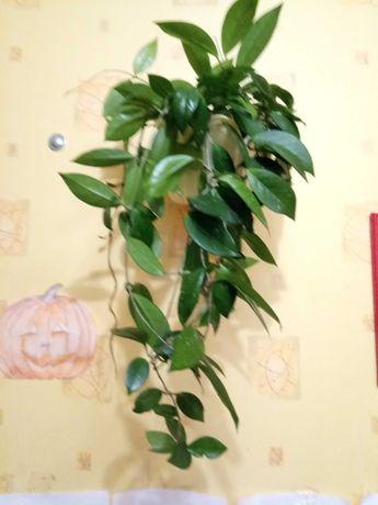 Хоя, взрослое растение