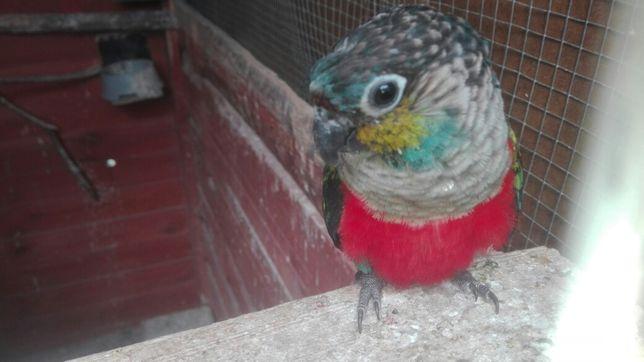Zaginęła papuga nagroda
