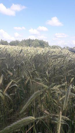 """Жито """"гуттіно"""" з поля"""