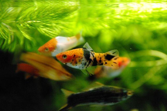 Mieczyk Xiphophorus hellerii - Czerwony, Czarny, Koi, Tricolor