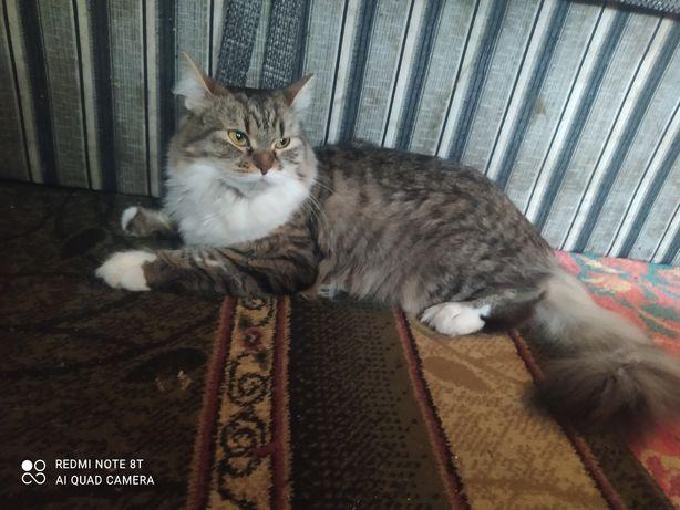 Кошка сибирская продаем в хорошие руки