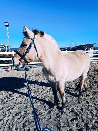 Sprzedam konia Kuc fiordzki
