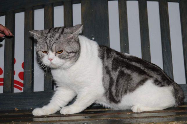 Клубный кот Том чемпион породы приглашает невест на вязку