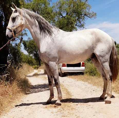 Cavalo Psl nome fausto