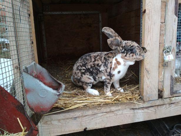 Продаю кролі