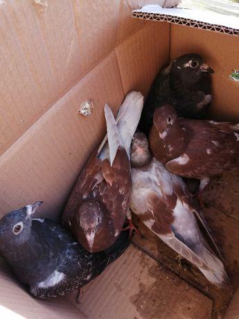 Gołębie młodziki