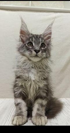 Лучший котик Мейн-кун
