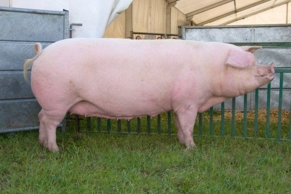 Свиня домашня Ландрас
