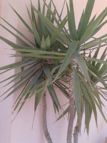 Palmeira/ planta yuca elefante