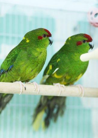 какарики или прыгающий попугайчик - позитивчик