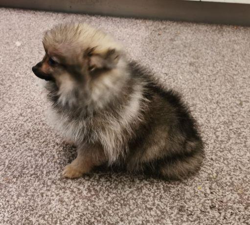 Szpic Miniaturowy/ Pomeranian