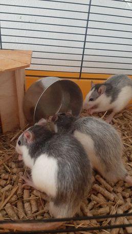 Szczurki zadbane, zdrowe