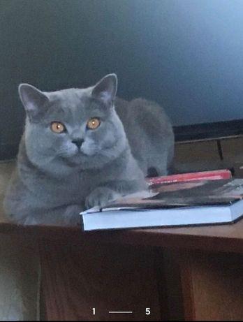 Опытный Британец Чистокровный голубого окраса Вязка котов