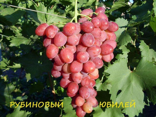 Черенки и саженцы винограда Рубиновый Юбилей