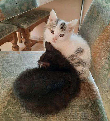 Кошечки маленькие, два месяца,  очень милые, отдадим в добрые руки!
