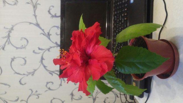 Продам недорого гибискус или обменяю на ваши цветочки