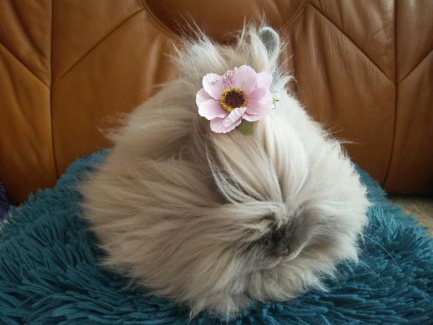 Królik króliczek miniaturka karzełek Teddy- Rasowy!