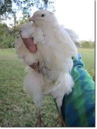 яйца инкубационные Техасского белого перепела и Зол.,Феникса