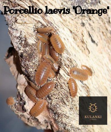 "Porcellio laevis ""Orange"", stonogi, ekipa sprzątająca do terrarium"