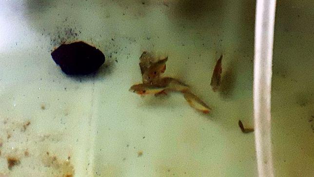 Pygocentrus Cariba 8 sztuk 13 cm