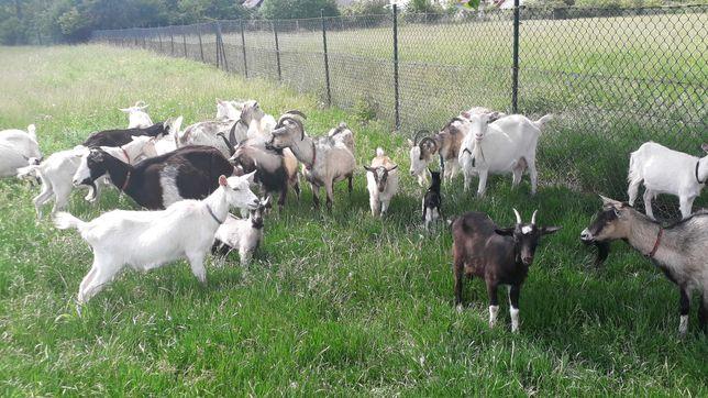 Sprzedam piękne kozy i kozła