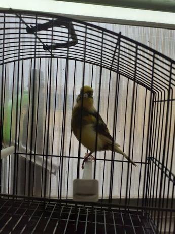 Venda de canarios