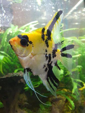 Wymienię 2 skalary na inne rybki