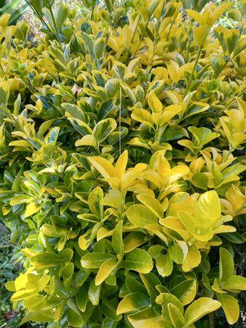 Arbustos Amarelos para jardim