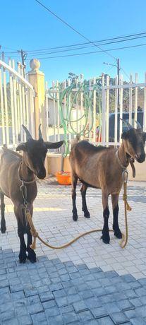 2 Cabras Alpinas 6 meses