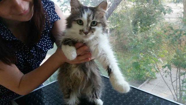 отдам пушистую кошку, стерилизована, привита, 1 год,
