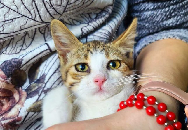 Тендітна лагідна малеча, кішечка Аріана, 2 міс