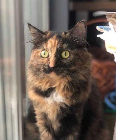 Пушистая кошка Совушка, 1 г, очень красивая, стерилизована