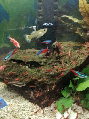 Krewetki akwariowe red