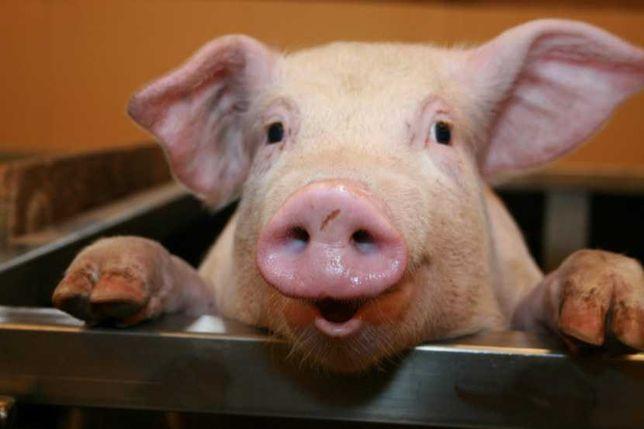 Продам   мясну свинку породи петрен битою вагою.