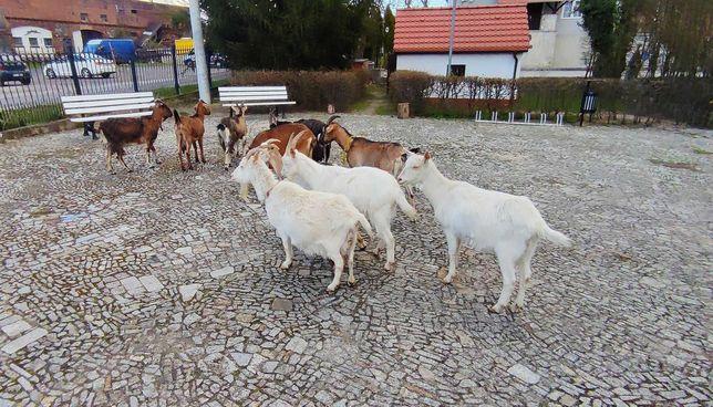 Kozy mleczne 50% anglonubijska