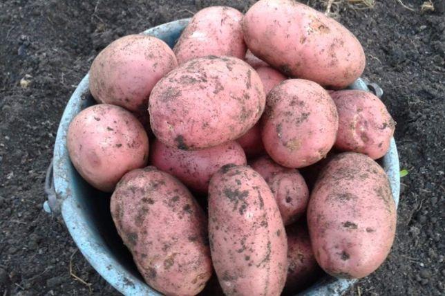 Картошка отборная