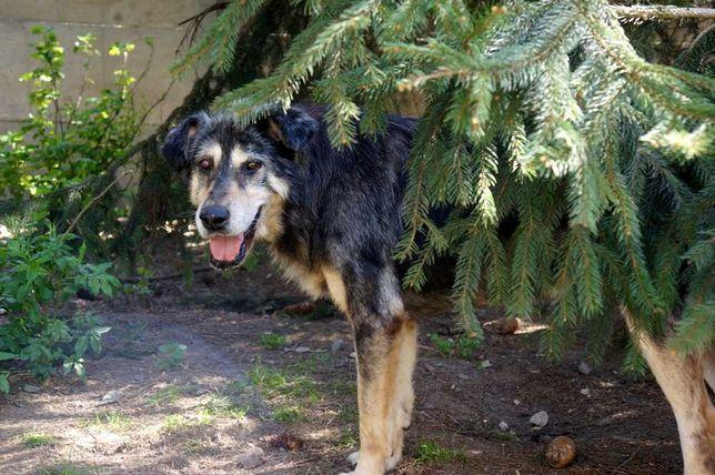Borys, pies merle - kochany, proludzki duży miś